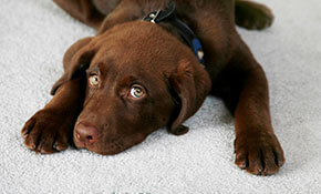 Chocolate lab puppy on carpet
